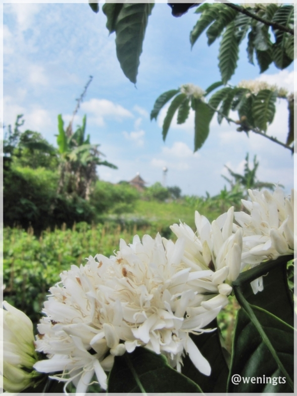 Cantikny bunga kopi