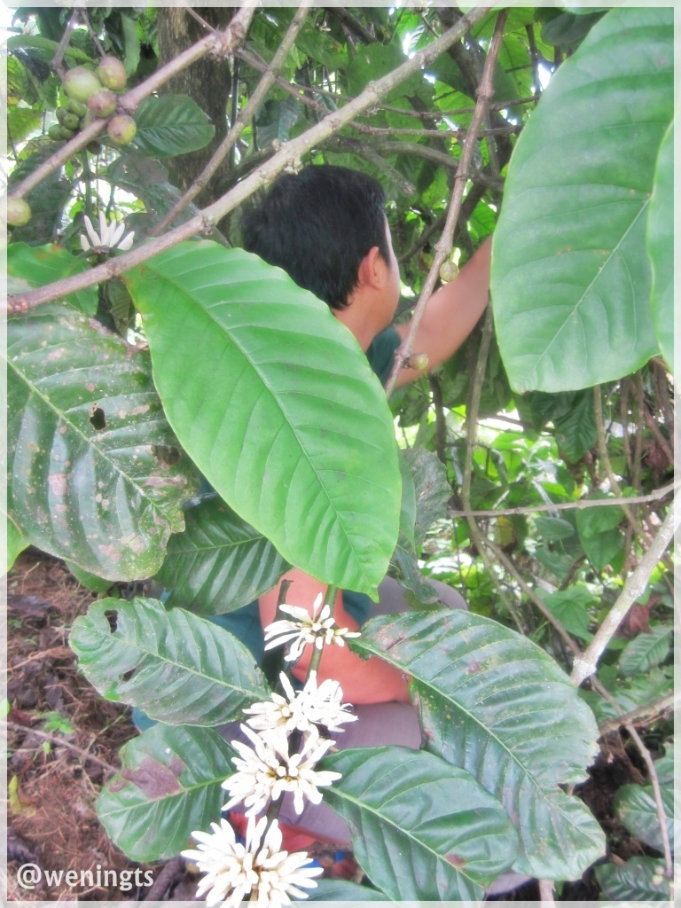 Suami 'ndlusup' di bawah pohon kopi yang besar dan rimbun