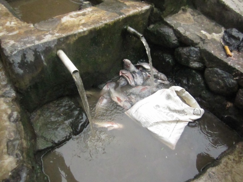 weningts - panen ikan