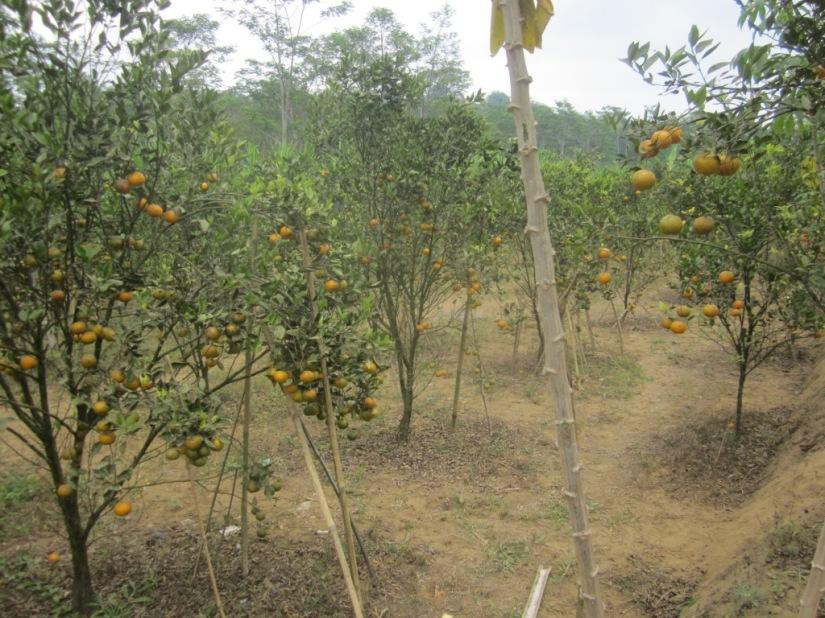 Separo lahan yang di-save untuk dijual kiloan, dilarang dipetik sendiri